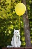 拿着一个黄色气球的滑稽的白色猫 库存照片
