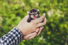 拿着一只小,美丽的镶边颜色小猫的一个人,张他的嘴并且显示舌头 库存照片