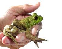 拿着一只幼小牛蛙的人被隔绝在白色 图库摄影