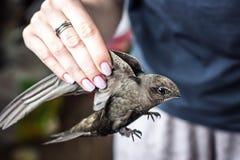 拿着一只幼小,野生,美丽,灰色鸟(共同快速)每翼的妇女的手 免版税库存照片