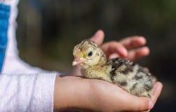 拿着一只新出生的小火鸡小鸡的女孩 库存照片