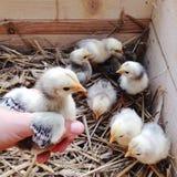 拿着一只新出生的鸡的手 库存照片