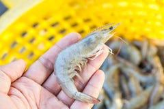 拿着一只新鲜的虾的手 免版税库存照片