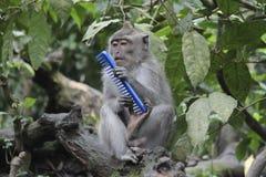 拿着一把蓝色刷子的猴子 免版税图库摄影