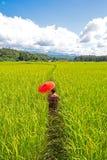 拿着一把黄色伞的妇女在绿色米领域走 背景在蓝天下 免版税库存图片