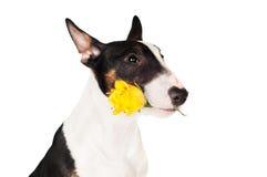 拿着一朵黄色玫瑰的可爱的小狗 免版税库存照片
