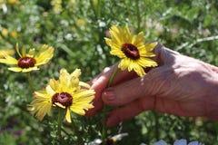 拿着一朵黄色雏菊花的年长妇女 库存照片