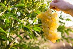 拿着一束成熟白葡萄的ManÂ的手在阳光下,在绿色领域背景中,在绿色树附近离开 库存照片