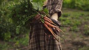 拿着一束新鲜的有机红萝卜和甜菜菜的农夫手与水滴在eco农场在日落光 股票视频