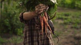 拿着一束新鲜的有机红萝卜和甜菜菜的农夫手与水滴在eco农场在日落光 影视素材
