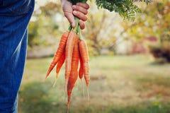 拿着一束新鲜的有机红萝卜的农夫手在秋天庭院里室外 免版税库存照片