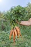 拿着一束红萝卜的妇女 束红萝卜在手上有软的背景 从庭院的新鲜的被收获的红萝卜 pi 库存图片