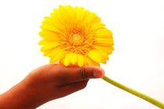 拿着一根大黄色大丁草 免版税库存图片