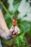拿着一棵被收获的红萝卜的手的特写镜头 免版税库存照片