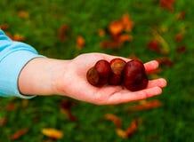 拿着七叶树果实的儿童手 库存照片