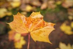 拿着下落的秋天枫叶在早晨 库存照片