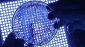 拿着与危险细菌的防护手套的科学家微生物学家培养皿在蓝色科学光 股票视频