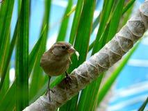 拿着与它的峰顶的麻雀一根羽毛 免版税图库摄影