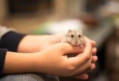 拿着与柔软一只逗人喜爱的矮小的灰色仓鼠的手 免版税库存照片