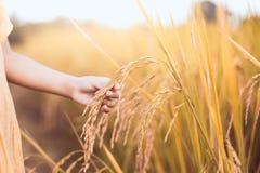 拿着与柔软的儿童手年轻米在稻田 库存图片