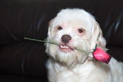 拿着与非常逗人喜爱的神色和牙的浪漫狗一朵玫瑰 免版税库存图片