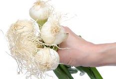 拿着与绿色茎的手白洋葱 免版税库存照片
