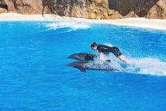 拿着两只海豚的更加温驯的浮游物 在Loro Parq的海豚展示 免版税图库摄影