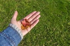 拿着两秋叶的被伸出的手 免版税库存图片