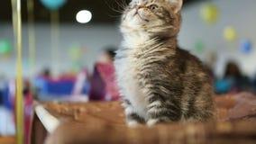 拿着五颜六色的宠物玩具的猫所有者,使用与好的高地折叠全部赌注 影视素材