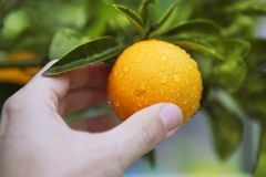拿着人力橙树的果子现有量 免版税库存照片