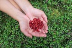 拿着几个蔓越桔的手 采摘莓果 库存图片
