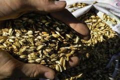 拿着几麦子五谷的农夫特写镜头的手 免版税库存图片