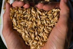 拿着几麦子五谷的农夫特写镜头的手 库存图片