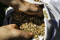 拿着几麦子五谷的农夫特写镜头的手 免版税图库摄影