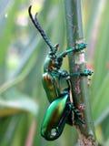 拿着分支的一只发光的珠宝甲虫 库存图片