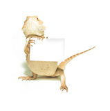 拿着卡片的蜥蜴手中在白色 库存图片