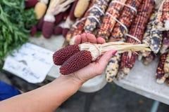 拿着印第安玉米的妇女手中 免版税图库摄影