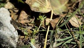 拿着叶子用手的蚂蚱吃自然背景 免版税库存图片