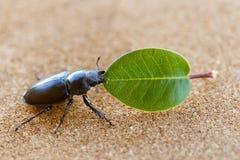 拿着叶子的母锹虫 免版税库存图片