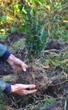 拿着和种植黄杨木潜叶虫,与根的黄杨属布什的女性手 免版税库存照片