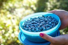 拿着在一个小箱和容器的妇女蓝莓在森林里 免版税库存图片