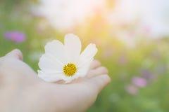 拿着在她的棕榈的妇女手白色波斯菊花有波斯菊的g 免版税库存图片