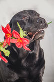 拿着在它的嘴的黑拉布拉多一朵花 免版税图库摄影
