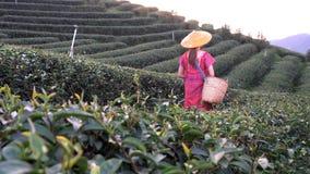 拿着在小山的地方小山部落的妇女年轻绿色茶叶在与日落光芒的晚上 股票录像
