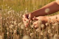 拿着在小棕色蒲公英的领域的手小蒲公英在日落 免版税库存图片