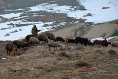 拿着在山羊和绵羊中的阿塞拜疆牧羊人棍子,与雪 图库摄影