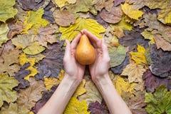 拿着在干叶子背景的妇女手一个棕色梨  免版税图库摄影