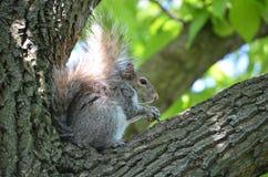 拿着在树的灰鼠一枚坚果 图库摄影