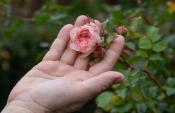 拿着在玫瑰丛的女性花匠一朵被填装的桃红色色情玫瑰色花在充满爱的玫瑰园里在她的手指 免版税库存照片