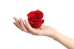 拿着一朵红色玫瑰的美好的妇女手 免版税库存照片